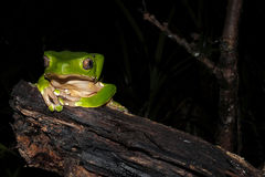 Bicolor monkey tree frog at night. Bicolor monkey tree frog sitting on a jungle tree branch stock photo