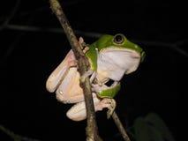 Bicolor monkey tree frog at night