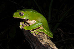 Bicolor monkey tree frog at night. Bicolor monkey tree frog sitting on a jungle tree branch stock photos