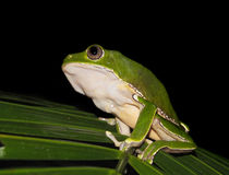 Bicolor monkey tree frog at night. Bicolor monkey tree frog sitting on a jungle tree branch royalty free stock photography