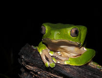 Bicolor monkey tree frog at night. Bicolor monkey tree frog sitting on a jungle tree branch stock image