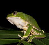 Bicolor monkey tree frog at night. Bicolor monkey tree frog sitting on a jungle tree branch royalty free stock image