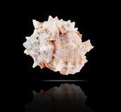 bicolor murex Arkivfoto