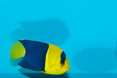 Bicolor, Oriole Angelfish (Centropyge bicolor). Bicolor, Oriole Angelfish in Aquarium Stock Image