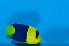 Bicolor, Oriole Angelfish (Centropyge bicolor). Bicolor, Oriole Angelfish in Aquarium Royalty Free Stock Photography