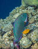 Bicolor Parrotfish - Cetoscarus bicolor. Eating corals in the Red Sea Stock Photography