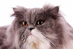 Bicolor persian cat isolated. On white Royalty Free Stock Image