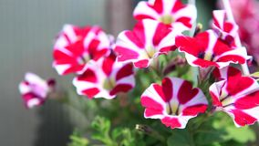 Bicolor petunia flower covered sunlight stock video