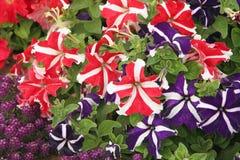 Bicolor Petunias Royalty Free Stock Image