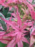 Bicolor pink maple leaves. With dark dramatic speckles Stock Images