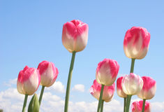 Bicolor Pink Tulips. A flower bed filled with bicolor pink and white tulips Royalty Free Stock Images