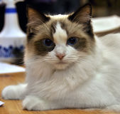 Bicolor ragdoll cat Royalty Free Stock Images