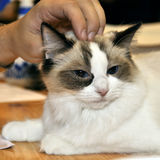 Bicolor ragdoll cat Stock Image