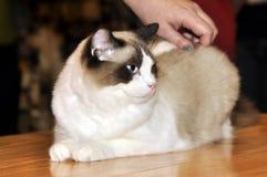 Bicolor ragdoll cat Stock Photography
