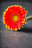 Bicolor red yellow gerbera daisy, low key on black royalty free stock image