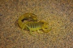 Bicolor Scorpion Orthochirus sp., Jaisalmer, Rajasthan, India. Bicolor Scorpion Orthochirus sp. from Jaisalmer of Rajasthan, India stock images