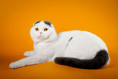 Bicolor scottish fold. On orange background Royalty Free Stock Photography