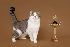 Bicolor scottish straight cat. On light brown background stock images