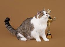 Bicolor scottish straight cat. On light brown background stock photo