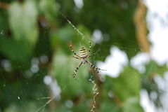 Bicolor spindel Arkivfoto