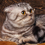 Bicolor stripes cat with yellow eyes Scottish Fold Sits in a wooden basket Stock Photo