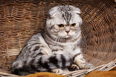 Bicolor stripes cat with yellow eyes Scottish Fold Sits in a wooden basket Royalty Free Stock Images
