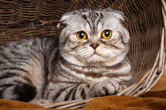 Bicolor stripes cat with yellow eyes Scottish Fold Sits in a wooden basket. Beautiful bicolor stripes cat with yellow eyes Scottish Fold Sits in a wooden basket Stock Images
