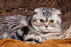 Bicolor stripes cat with yellow eyes Scottish Fold Sits in a wooden basket Stock Image