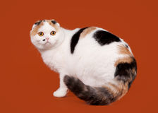 Bicolor tortoise scottish fold Stock Image