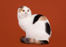 Bicolor tortoise scottish fold. On nuts background Royalty Free Stock Image