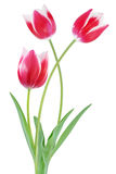 Bicolor Tulip Flowers Royalty Free Stock Photos
