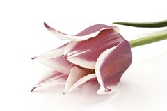 Bicolor tulips Royalty Free Stock Images