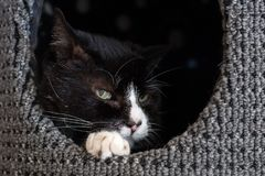 Bicolor or Tuxedo cat laying in a nest with his head peeking out. Bicolor or Tuxedo cat laying in a nest with his head peeking out closeup of face royalty free stock images
