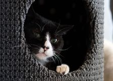 Bicolor or Tuxedo cat laying in a nest with his head peeking out. Bicolor or Tuxedo cat laying in a nest with his head peeking out closeup of face stock photos