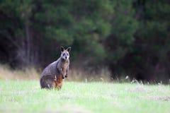 bicolor wallaby wallabia топи Стоковые Изображения