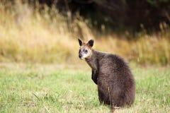 bicolor wallaby wallabia топи Стоковое фото RF