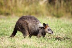 bicolor wallaby wallabia топи Стоковое Фото