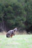 bicolor wallaby wallabia топи Стоковая Фотография