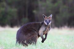 bicolor wallaby wallabia топи Стоковая Фотография RF