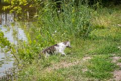 Bicolor white tabby cat fishing in a lake. Cat-fisher caught catfish. Bicolor white tabby cat fishing in a lake. Cat-fisher caught a small catfish royalty free stock images