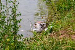 Bicolor white tabby cat fishing in a lake. Cat-fisher caught catfish. Bicolor white tabby cat fishing in a lake. Cat-fisher caught a small catfish stock images