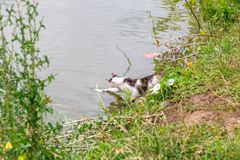 Bicolor white tabby cat fishing in a lake. Cat-fisher caught catfish. Bicolor white tabby cat fishing in a lake. Cat-fisher caught a small catfish stock photography