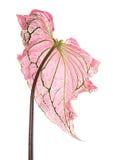 Bicolore de Caladium avec la feuille rose et le vert veine l'amoureux de la Floride, feuillage rose de Caladium d'isolement sur l Photos stock