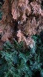 Bicolore nel pino Fotografia Stock Libera da Diritti