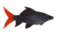 Bicolore tropicale di Epalzeorhynchos dei pesci isolato sopra Fotografia Stock