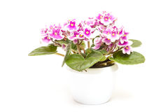 Bicolored african violet Royalty Free Stock Photos