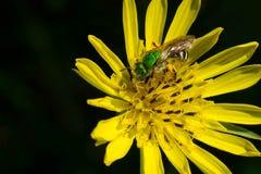 Bicolored Agapostemon Sweat Bee Stock Image