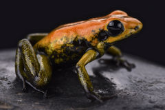 Bicolored dart frog (Phyllobates bicolor). The bicolored dart frog (Phyllobates bicolor) is a highly toxic amphibian species found in Colombia Royalty Free Stock Photo