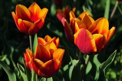 Bicolored orange to yellow tulip flowers of Kees Nellis kind stock images