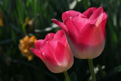 Bicolored pink to white tulip flowers of Hot Pants cultivar. Sunbathing in spring afternoon sunshine stock image
